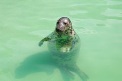 Seal in the pool Stock Photography