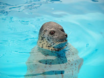 Seal in pool Stock Photography