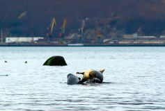 Seal in the port. Three seals against the background of sea trading port Stock Images