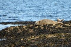 Seal Portgordon Scotland Royalty Free Stock Photo
