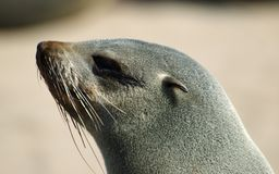 Seal portrait. A portrait of a seal Royalty Free Stock Photo