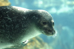 Seal portrait. A portrait of a seal Royalty Free Stock Image