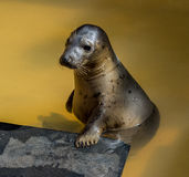 Seal portrait at seal sanctuary. Portrait of cute rescued seal ln pool at seal sanctuary,Mablethorpe,Lincolnshire Stock Images
