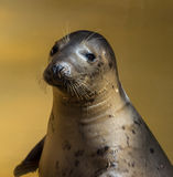 Seal portrait at seal sanctuary Royalty Free Stock Image