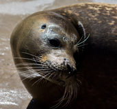 Seal portrait at seal sanctuary. Portrait of rescued seal ln pool at seal sanctuary,Mablethorpe,Lincolnshire,head turned Royalty Free Stock Photos