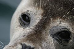 Seal portraits. Full body and facial royalty free stock images