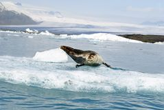 Seal posing over Big Ice rock at Jokusarlon Glacier Lagoon on Iceland. stock image