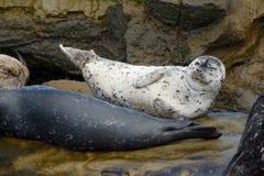 Seal Posing Stock Photos