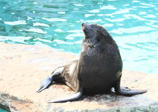 Seal Royalty Free Stock Photos