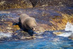 Seal preparing to jump into the water from the rock in Hout Bay stock photos