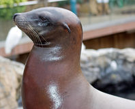 Seal Profile Royalty Free Stock Images