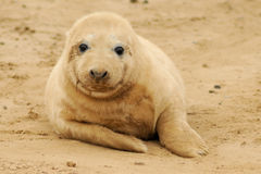 Seal pup. Very cute grey atlantic seal pup (Halichoerus grypus) on the sand at Donna Nook Lincolnshire beach colony, United Kingdom Royalty Free Stock Images