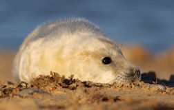 Seal Pup. Grey Seal pup on a Norfolk beach Royalty Free Stock Photo