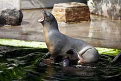 Seal and pup Royalty Free Stock Photo
