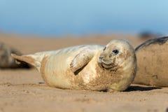 Seal Pup. Grey seal pup close up on beach Stock Photo