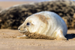 Seal Pup Stock Image