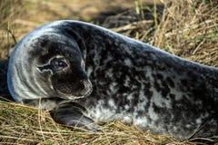 Seal Pup. Grey seal pup close up Stock Photos