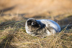 Seal Pup Stock Photos