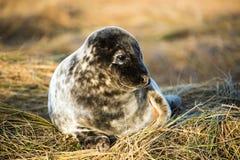 Seal Pup Royalty Free Stock Photo