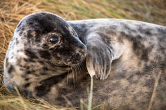 Seal Pup Royalty Free Stock Image