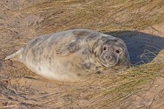 Seal Pup Stock Images