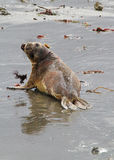 Seal Pup. Lonely Elephant Seal Pup Reflected On Beach Royalty Free Stock Photos