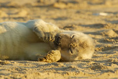 Seal pup. A grey seal pup lying on a beach Stock Photo