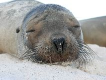 Seal pup. On beach royalty free stock photo