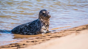 Seal pup bathing in the sun Stock Images