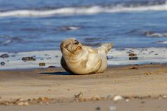 Seal pup on the beach as part of the seal colony at Horsey, Norfolk stock image