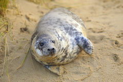 Seal pup on the beach. A grey seal pup on Horsey Beach, Norfolk, England, where a breeding colony has become established over the last few years. Despite its Royalty Free Stock Images