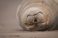Seal Pup. A close up of a baby Grey Seal lying upside down and fast asleep Stock Images