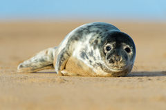 Seal Pup. Cute Atlantic Grey Seal Pup on Beach Stock Images