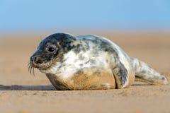 Seal Pup. Cute Atlantic Grey Seal Pup on Beach Royalty Free Stock Photo