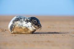Seal Pup. Cute Atlantic Grey Seal Pup on Beach Royalty Free Stock Photography