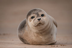 Seal Pup. A cute Grey Seal pup looking straight into the camera lens Stock Photos