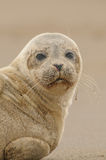 Seal Pup. A Grey Seal pup looking directly at the camera Stock Photography