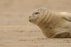 Seal Pup. A Grey Seal pup patiently waits for its mother to return from the sea Royalty Free Stock Photos