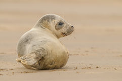 Seal Pup. A Grey Seal patiently waits for its mother to return from the sea Royalty Free Stock Image