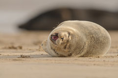 Seal Pup. A Grey Seal pup yawning and dozing on the beach Royalty Free Stock Photography