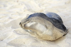 Seal pup having rest on the Hermosa beach Royalty Free Stock Photography