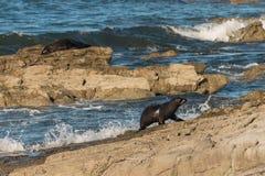 Seal pup jumping on rocks Royalty Free Stock Photo