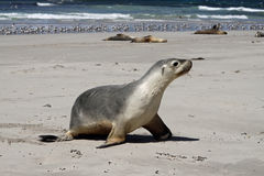 Seal Pup (Neophoca cinerea) Royalty Free Stock Photo