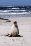 Seal Pup (Neophoca cinerea) Stock Images