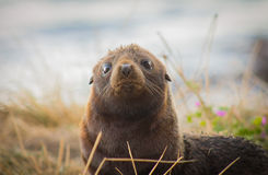 Seal pup. A New Zealand fur seal pup looking toward the camera Stock Photography