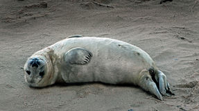 Seal Pup - Norfolk UK. A well-fed seal pup resting on a Norfolk beach - UK Stock Image