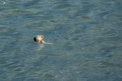 Little seal in crystal clear water royalty free stock image