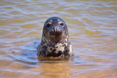Seal pup posing on the beach Stock Image