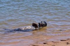 Seal pup posing on the beach Royalty Free Stock Photo