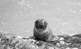 Seal pup on the rocks royalty free stock photography